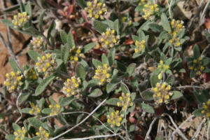 406 Weed Control - Yellow Alyssum